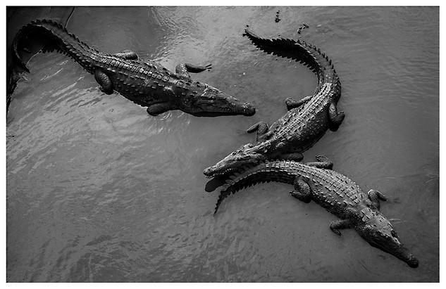 Cocodrilos Americanos / American Crocodiles