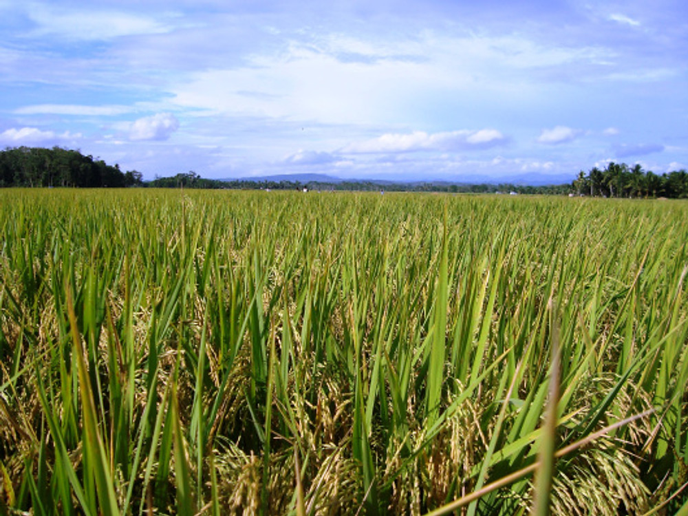 Rice Fields in Mindanao, Philippines