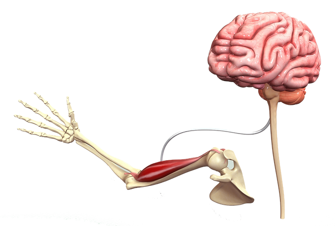 Brain Muscle Connection_edited.png