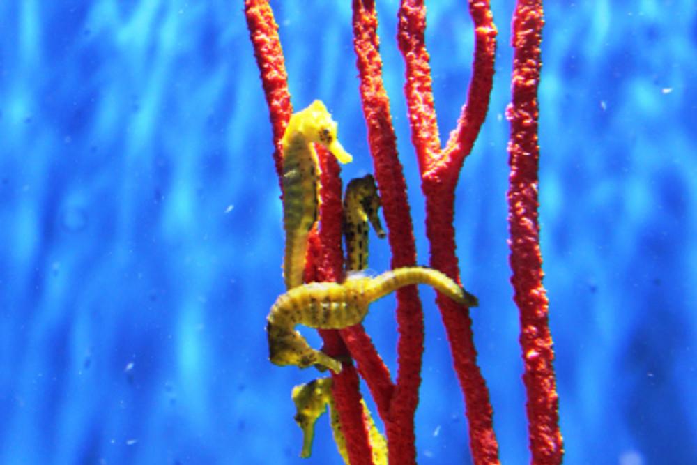 Beautiful little seahorses.