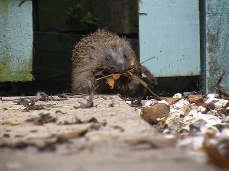 Hedgehog Film Goes Viral