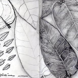 Hojas de Eucaliptus