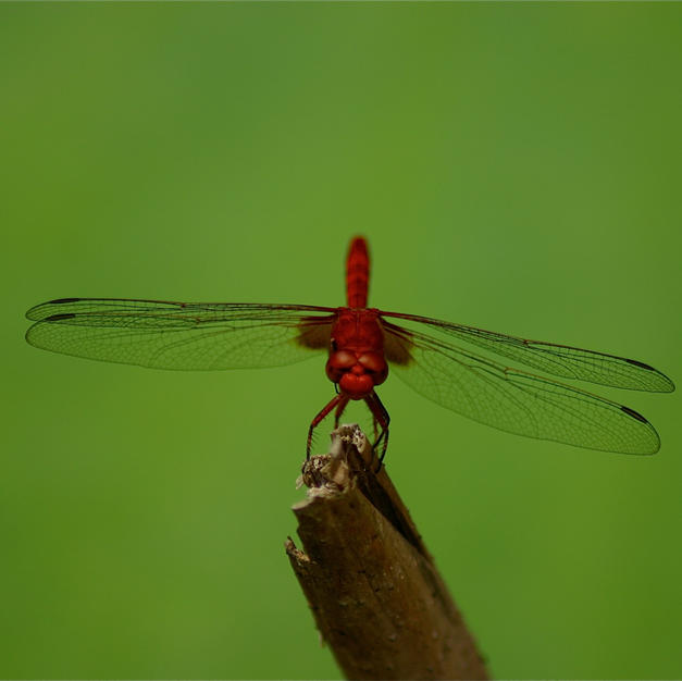 Red dragonfly on lilly pad, Trinidad
