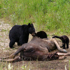 Black bears munching on a moose, BC
