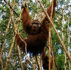 Orangutans, Borneo, Indonesia