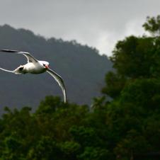 Red-billed tropicbird, Tobago