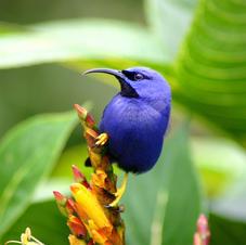 Purple honeycreeper, Trinidad