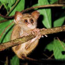 Spectral tarsier, Sulawesi, Indonesia