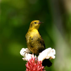 Yellow-headed blackbird, Trinidad