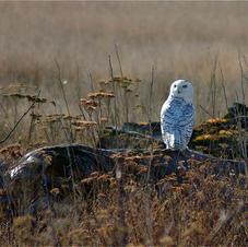 Snowy Owl, BC