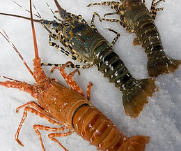 Lobster/ Shevande 1 KG Full