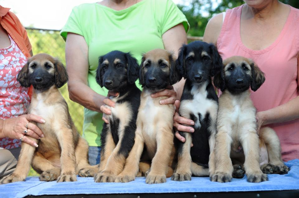Karen puppies