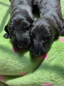 Karen Puppies 1.jpg