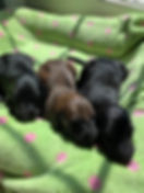 Karen Puppies 2.jpg