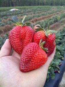 160_knob_creek_strawberries.jpg