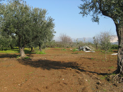 Olivenstämme