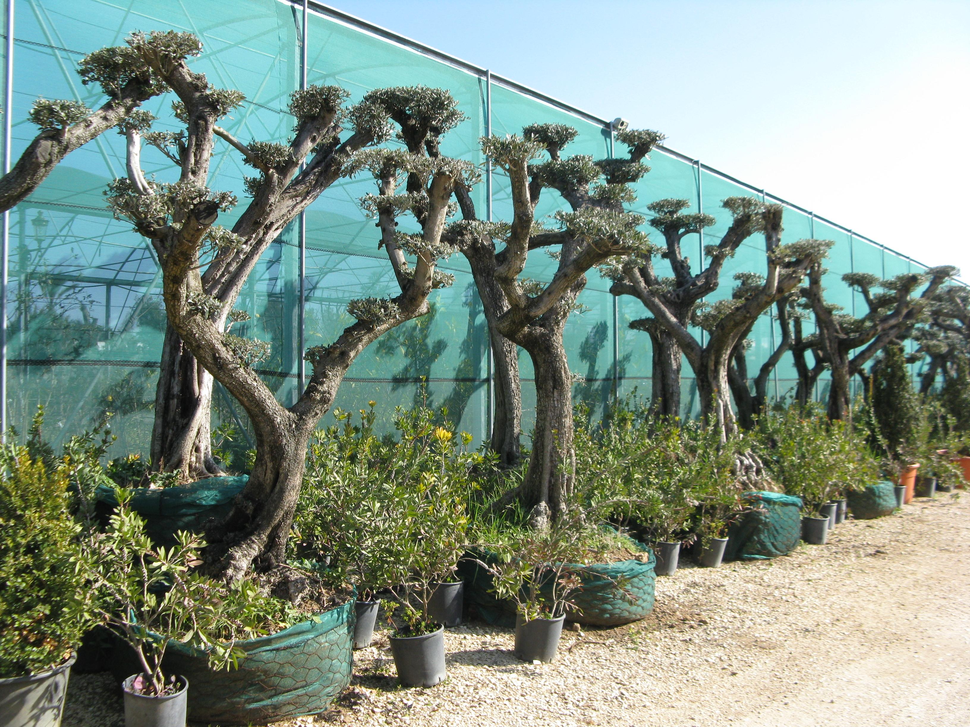 Oliven Pom Pom