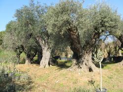 Oliven alt