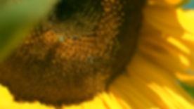 CH Sunflower Bee.jpg