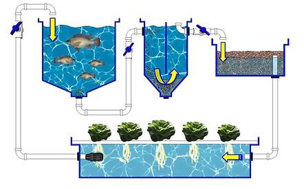 Aquaponics Cycle.png