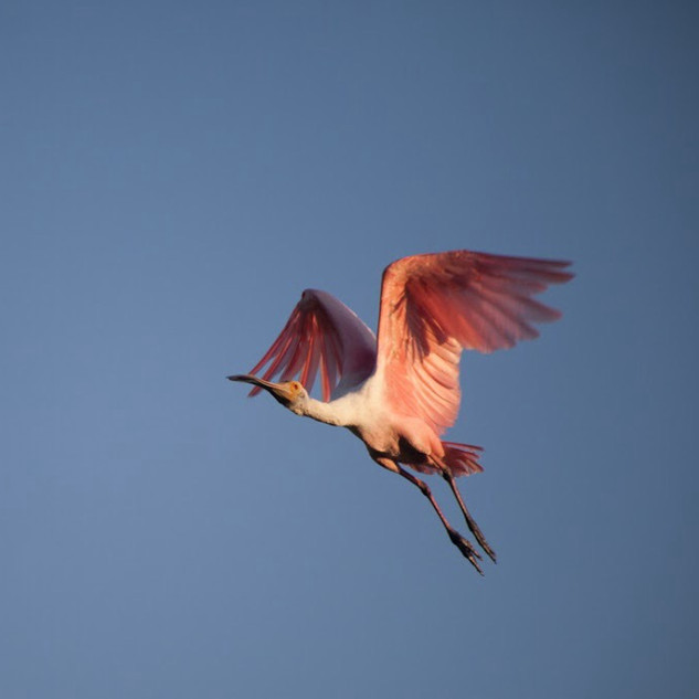 Garza rosada espátula