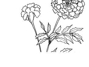 Marigold - Tagetes Patula