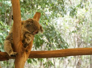 Help us save the koalas!