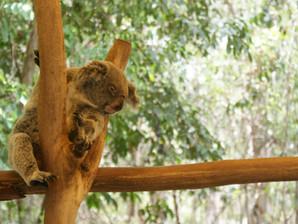 Help us save the koalas!