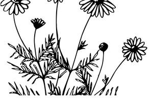Dyer's Chamomile - Anthemis tinctoria