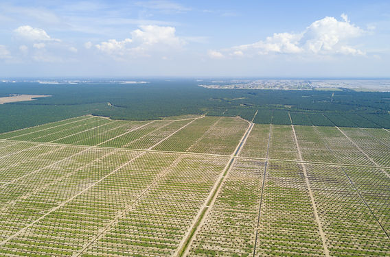 Aerial View Of Palm Plantation With Dram