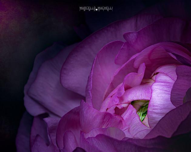 Pink ranuncolo