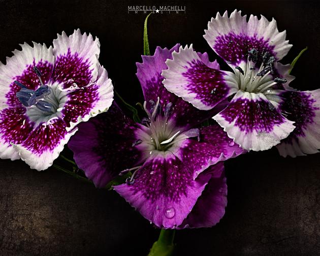 japanese carnation