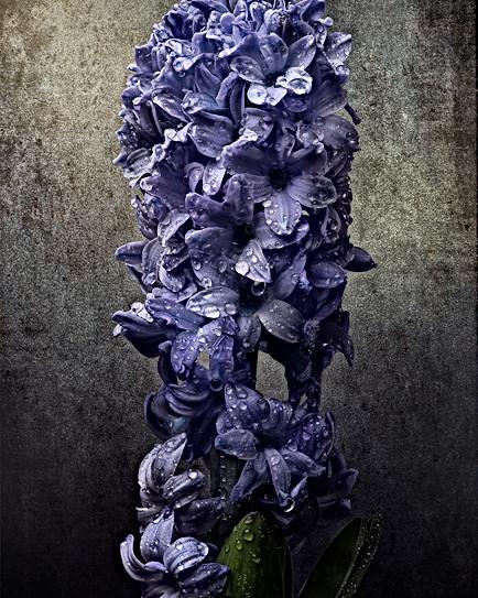 Blue Hyacynt