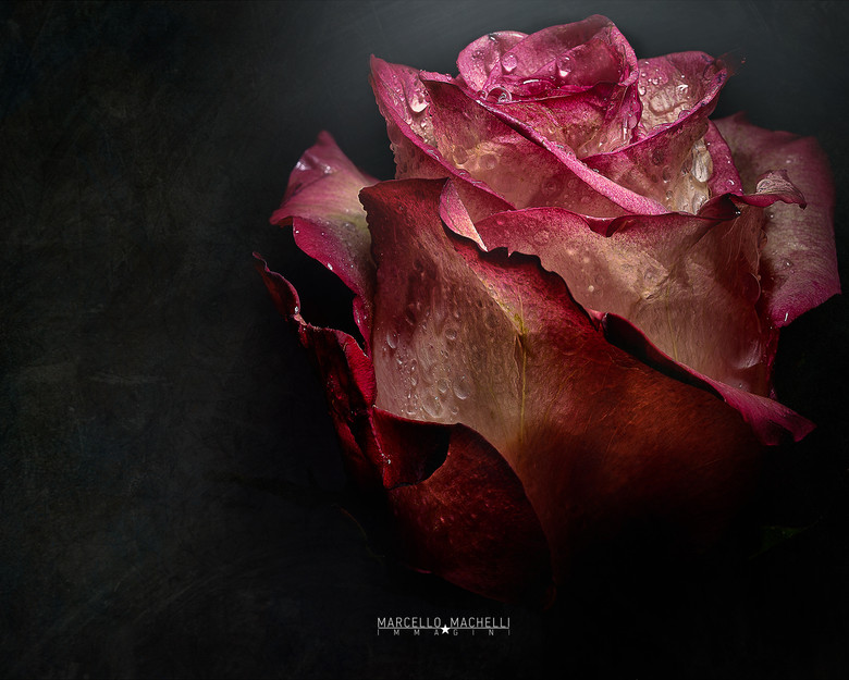 Rose on the spot