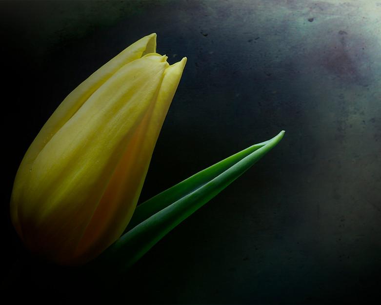 Yello tulip