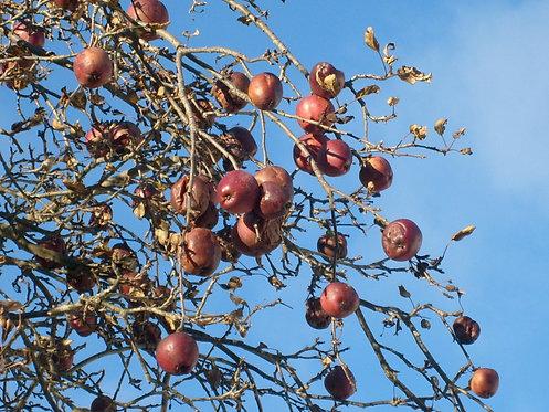 SHEEPNOSE APPLE TREE - Spring 2021
