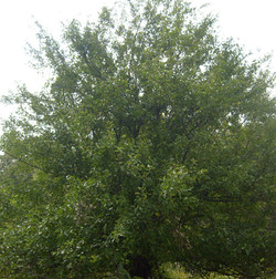 Mature Droptine Crabapple Tree