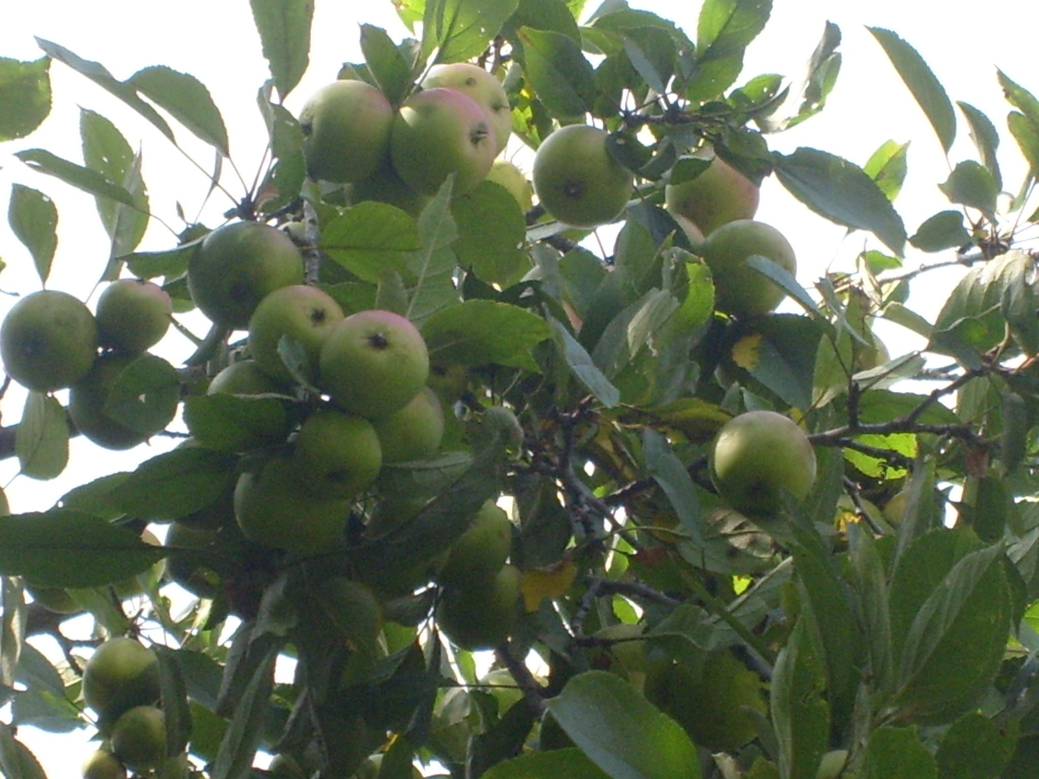 Gray Ghost Apple Tree