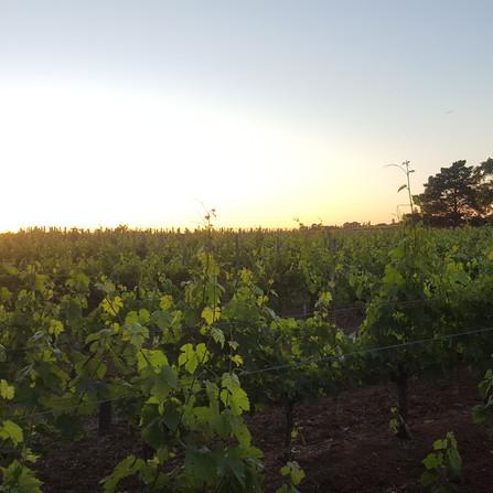 Holiday Vinyeard around Bordeaux