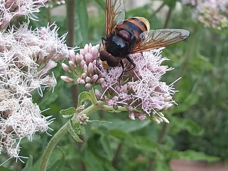 Pollinator SOS!