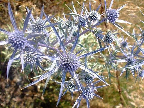 Blue Cap Sea Holly Seed .1oz