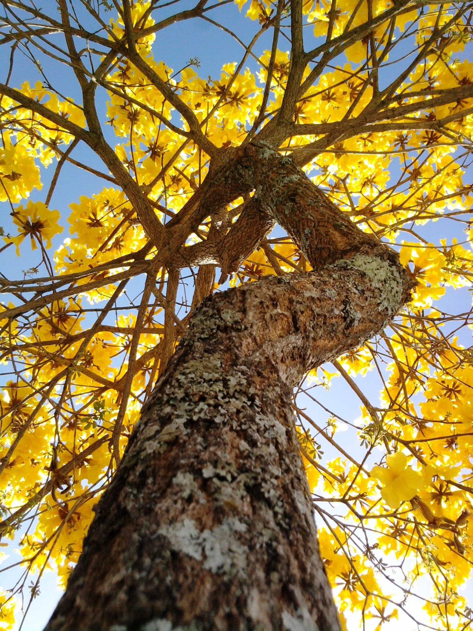 ipe-amarelo-arvore-flores10.jpg