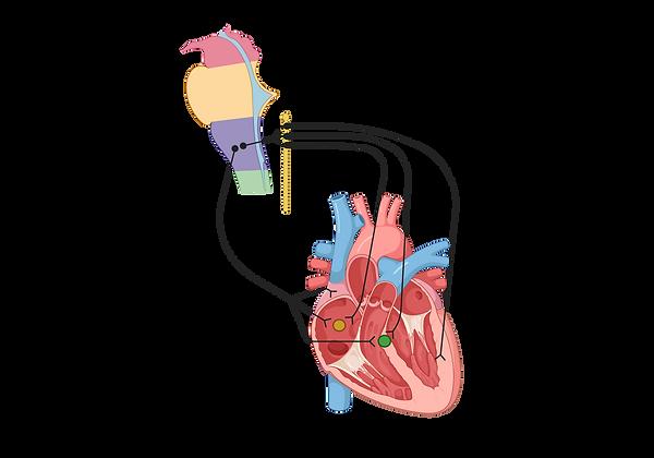 Autonomic Cardiovascular.png