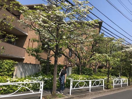 5月の花水木通りにて〜Walking along Dogwood Street