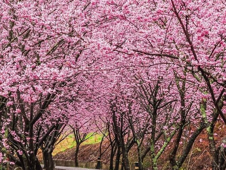 Flor del cerezo o sakura en Japón
