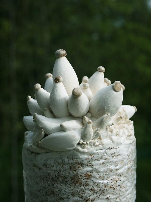 King Oyster Mushroom Kit ( 2 Pack)