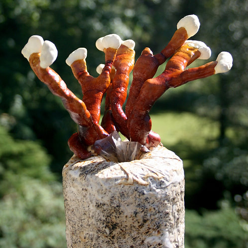 Reishi growing kit