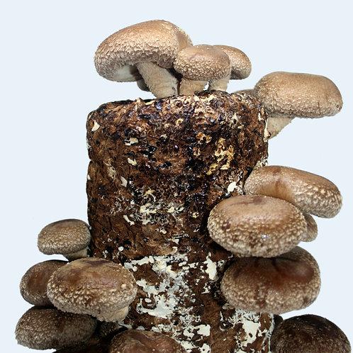 Shiitake Mushroom Mini Farm