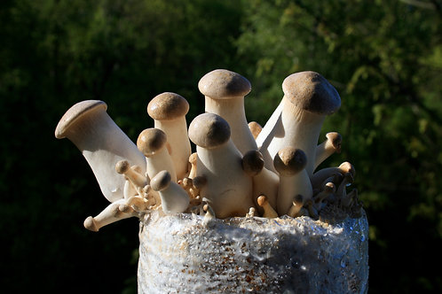 King Oyster Mushroom Kit
