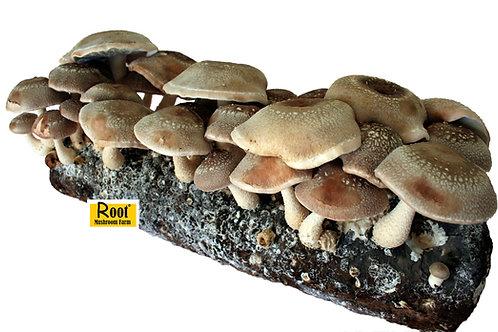 Shiitake mushroom growing kit